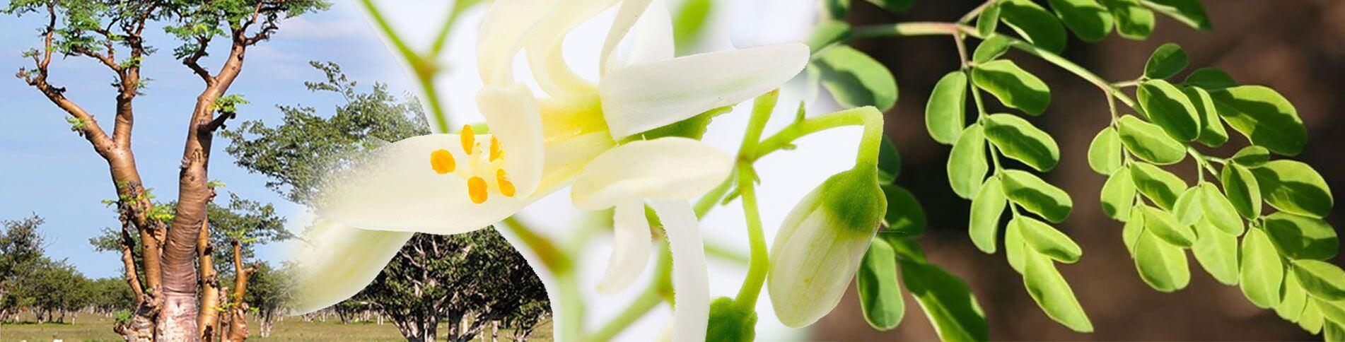 MORINGA- ein Geschenk der Natur